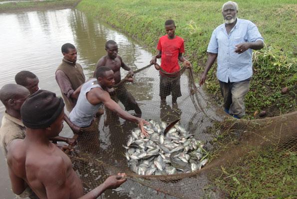 fish harvesting - Fish Farming in Nigeria