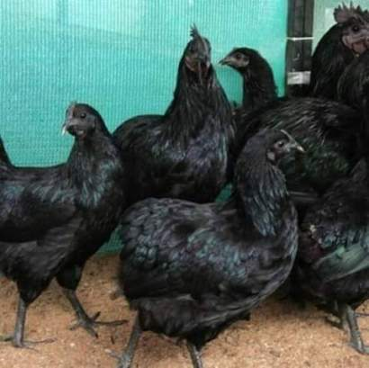 world-most-expensive-hen