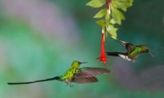 Long-tailed sylph chasing tourmaline sun angel by Suzanne Dater