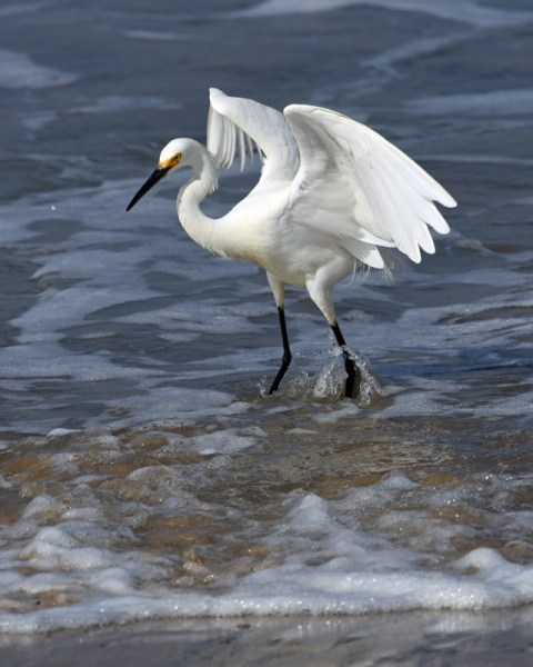 (3 rd) Novice~Karen Goldman~Showy Snowy Egret In Surf