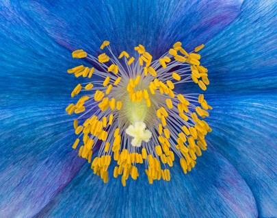 Blue Poppy by Jim Turner