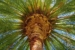 Mighty palm, Pomona College April 2011