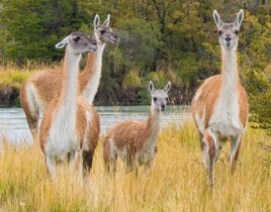 Guanacos in Patagonia Chile by Suzanne Dater
