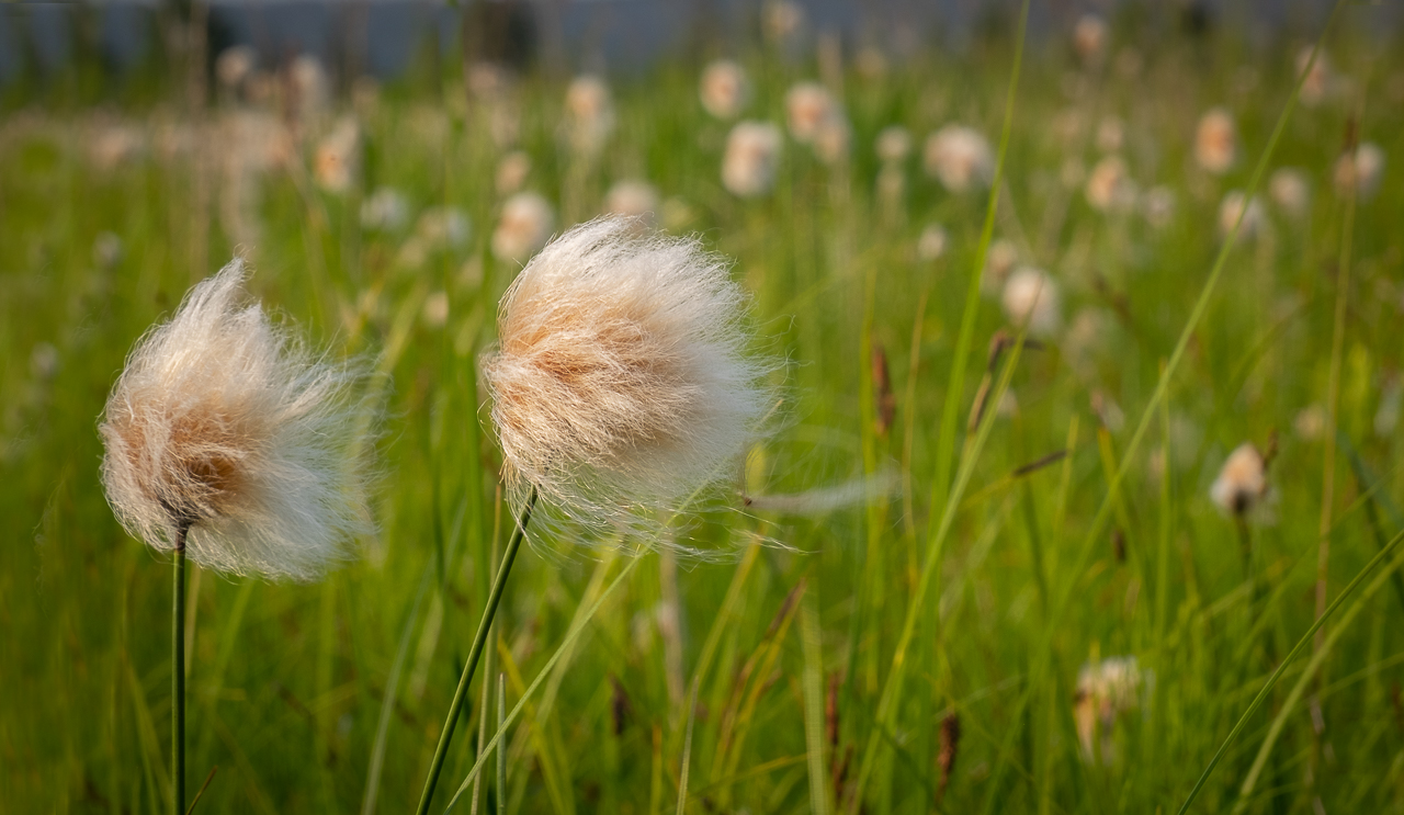 (HM) Advanced~Kay Norvell~Alaskan Cotton
