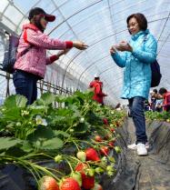 千葉県山武市でイチゴ狩り体験を楽しむ訪日客