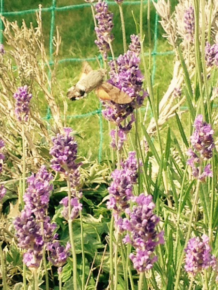 Hummingbird moth - Nikki Young Writes