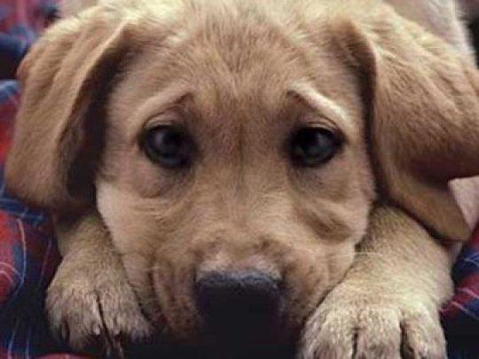 Βασανισμός σκυλιών