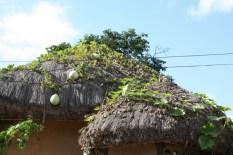 Landwirtschaft: Kürbis auf dem Dach...