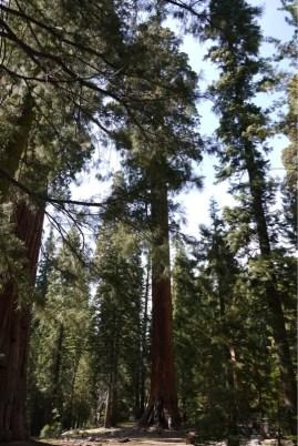Big Trees Trail - man beachte Heinz zum Größenvergleich