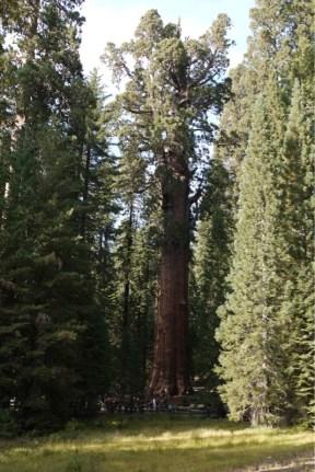 General Sherman Tree in voller Pracht...