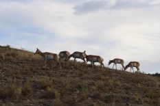 Pronghorn Antilopen