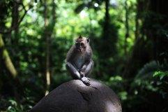 Macaque Monkey - Bali, Indonesia