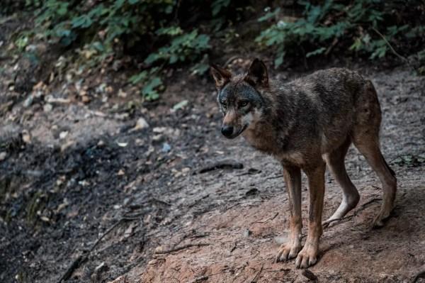 Loup gris au parc Canadien de Muchedent