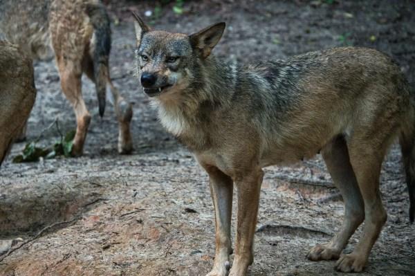 Loup gris à Muchedent