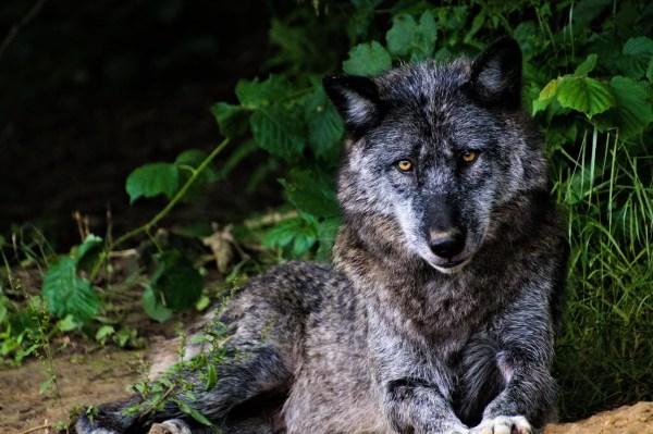 Loup noir du Parc Canadien