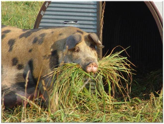 sow with nesting materials