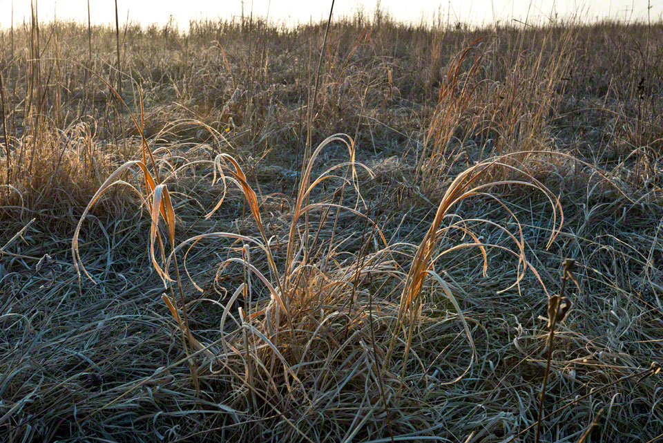 Backlit Frosted Grass at Dawn