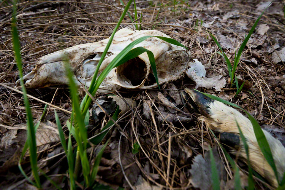 Deer Skull and Hoof with New Grass