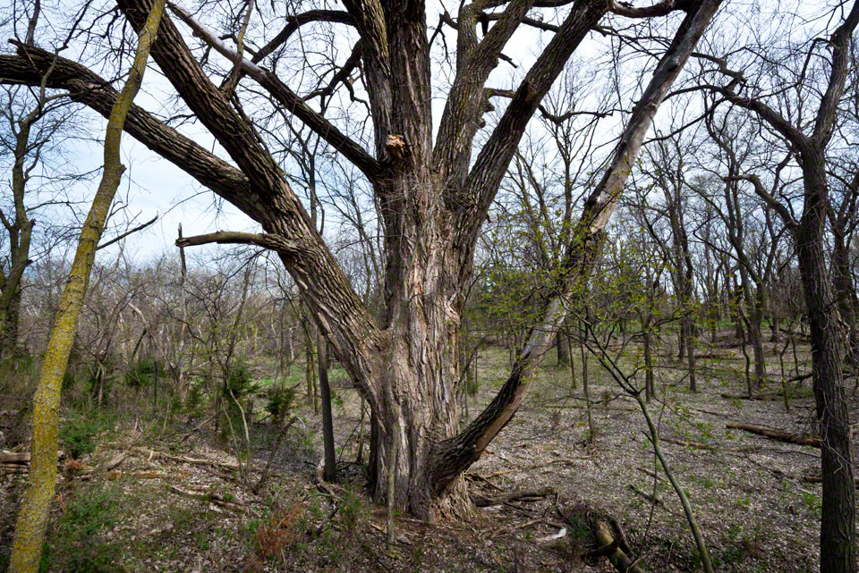 Grandmother Cottonwood Flanked - WS