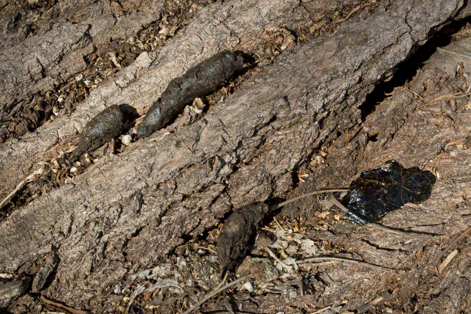 Turds Deposited on a Down Cottonwood
