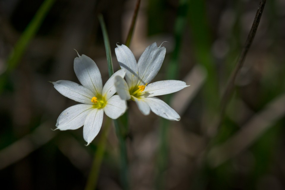 White Eyed Grass Flowers in Sun