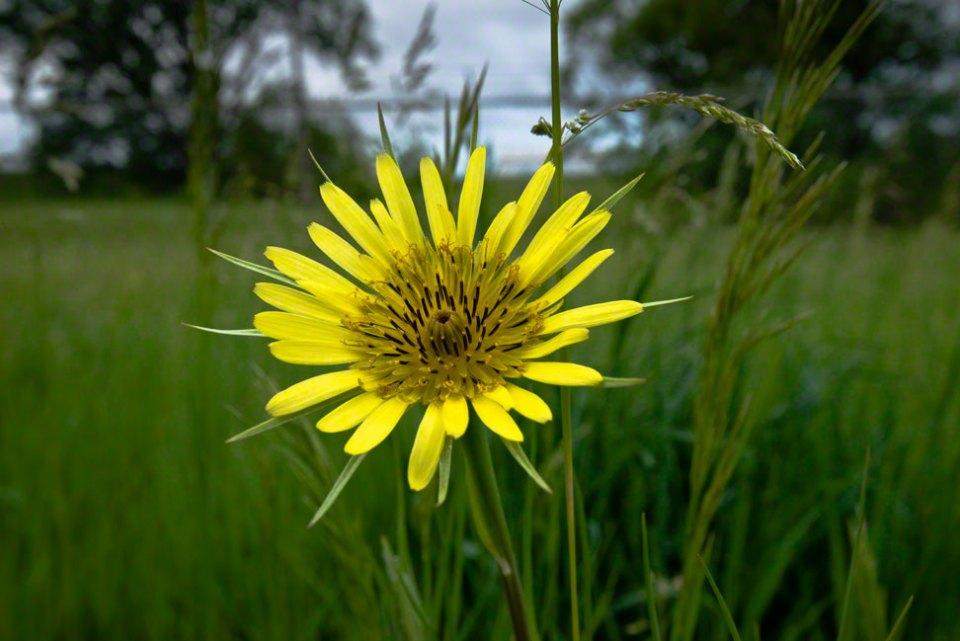Prairie-False-Dandelion-Flower