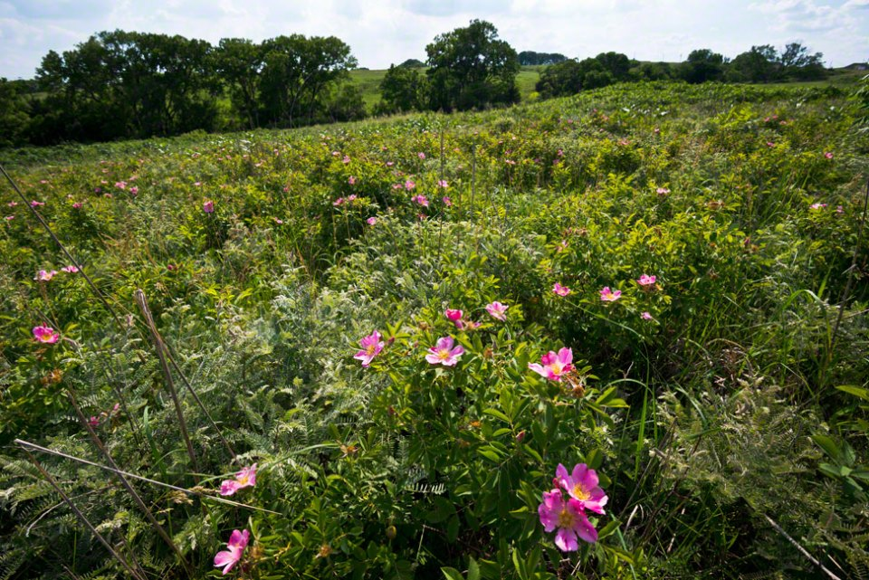 Wild-Rose-Patch---Sunny-Day