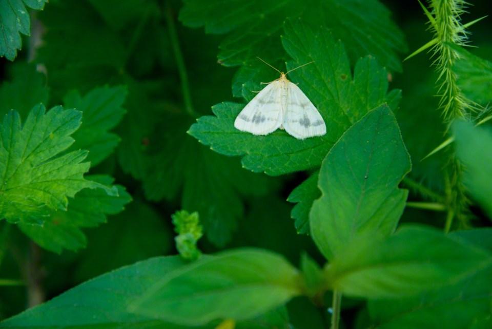 Delicate White Moth Resting