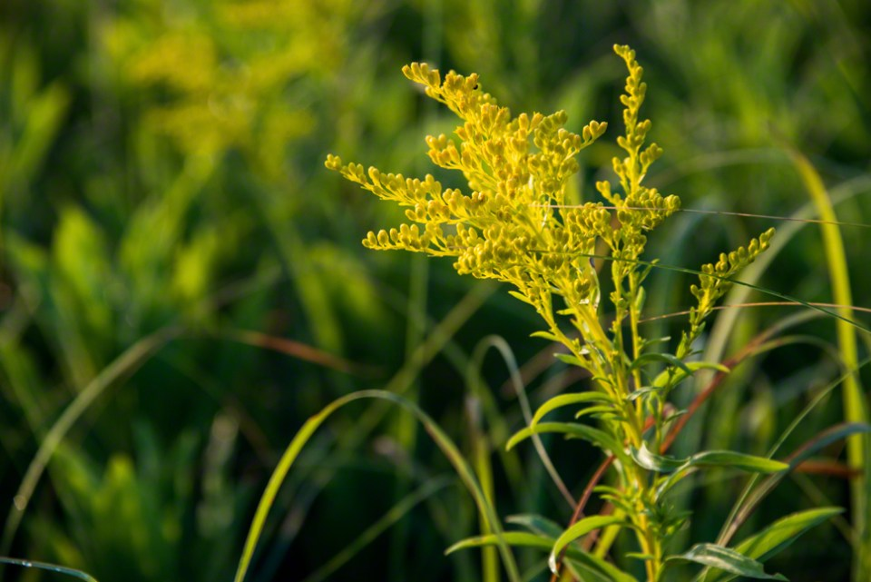Prairie Goldenrod - Coming into Flower