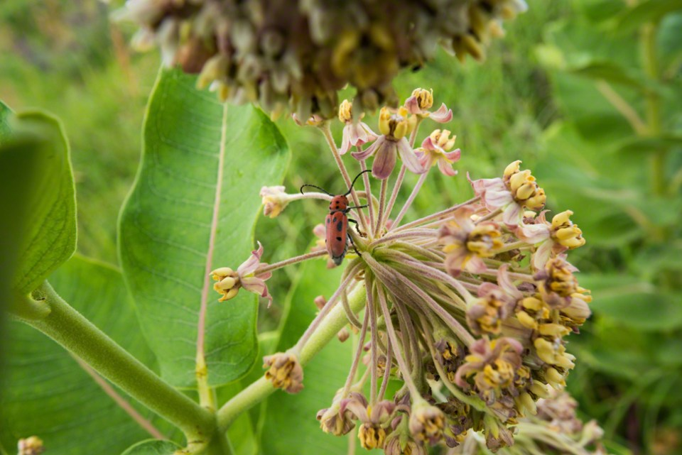 Red Milkweed Beetle on a ...