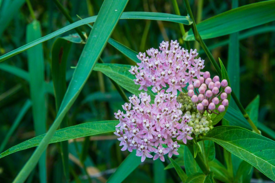 Swamp Milkweed in Flower