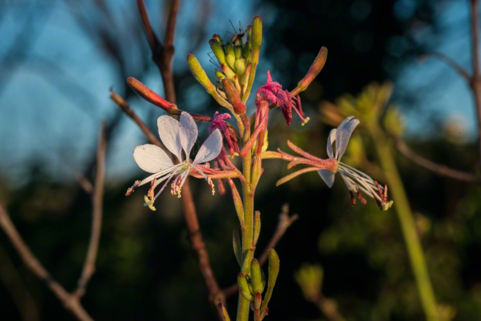 Tall Gaura Flowers Just Opened CU