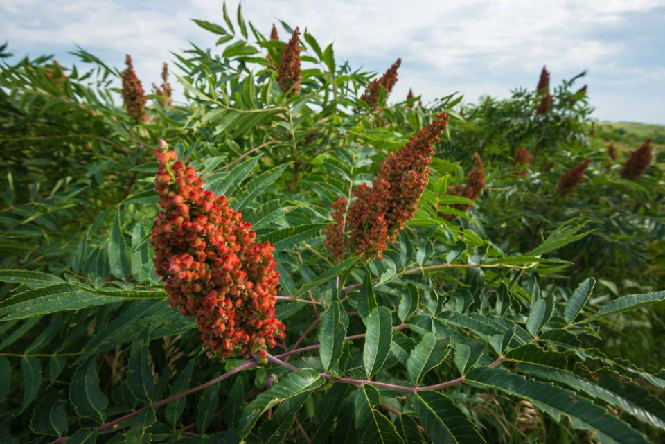 Those Red Sumac Heads