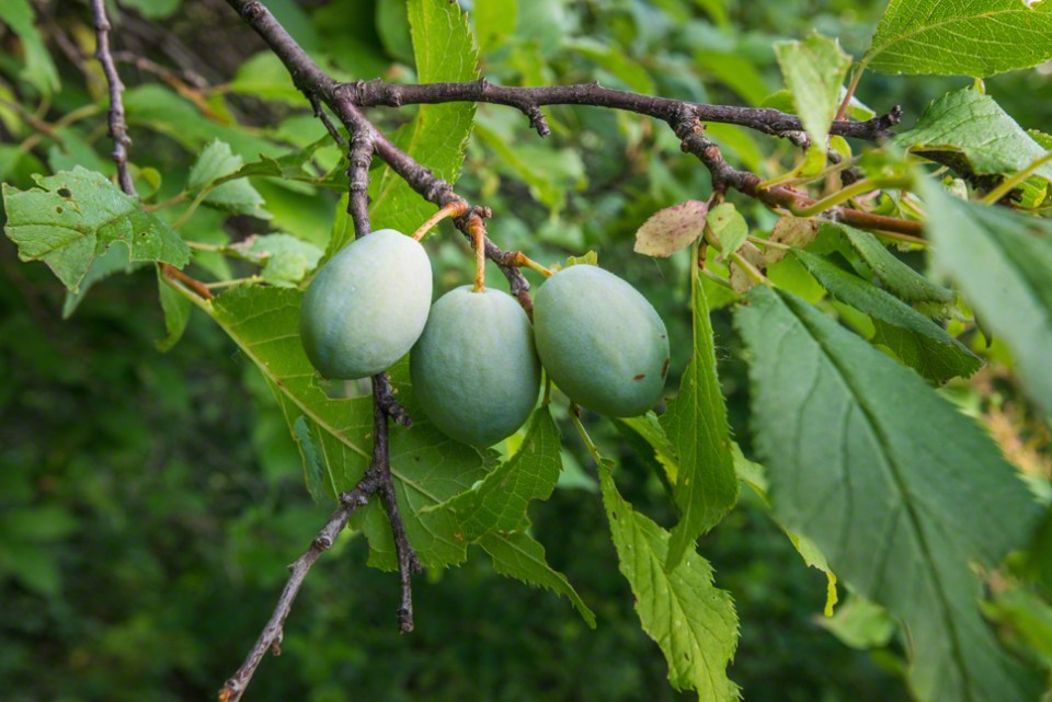 Three Green Plums