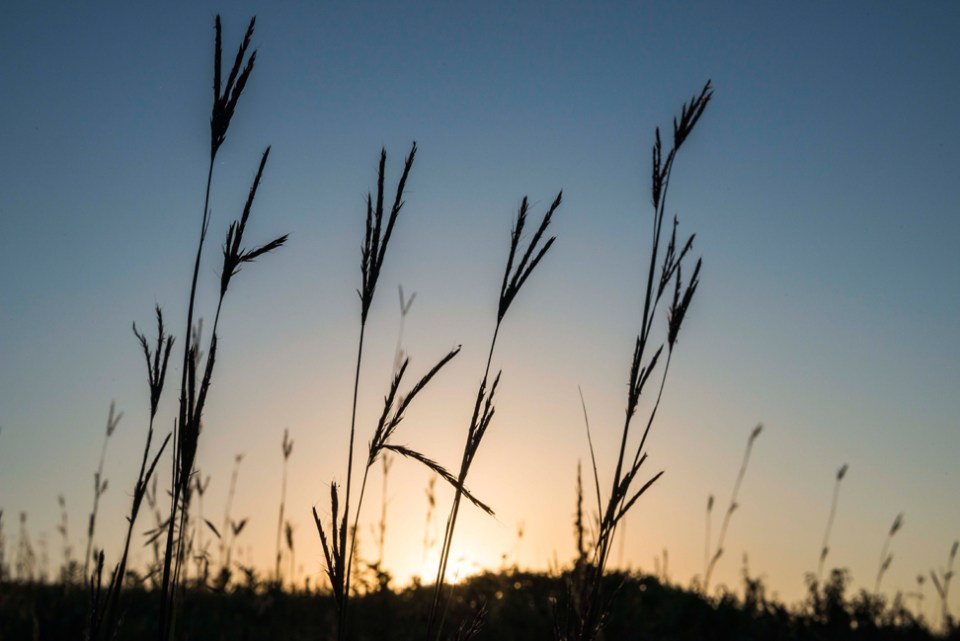 Big Bluestem Group at Dawn