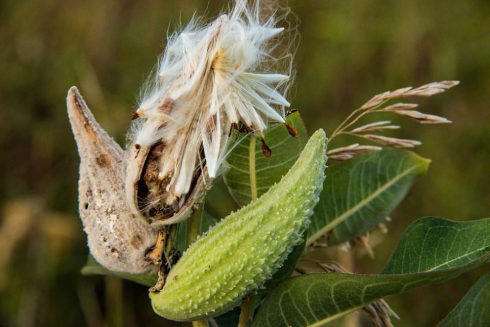 Diseased Milkweed Pods Open