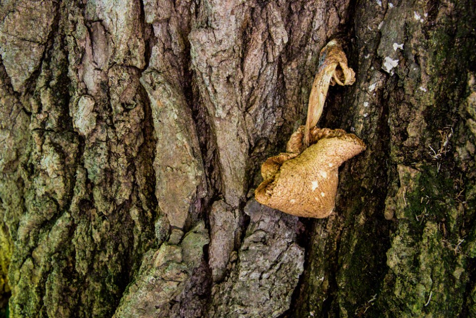 Fallen Fungus on the Old Cottonwood Trunk
