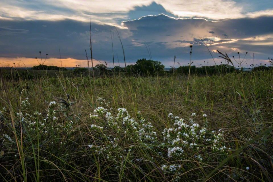 Heath Asters Lit by Dawn Light