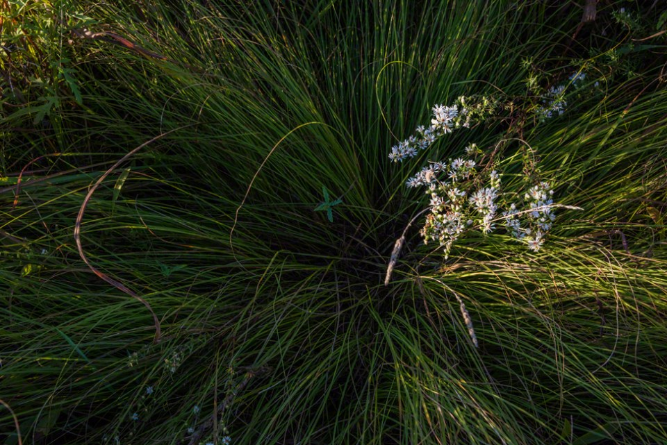 Heath Asters in the Grass