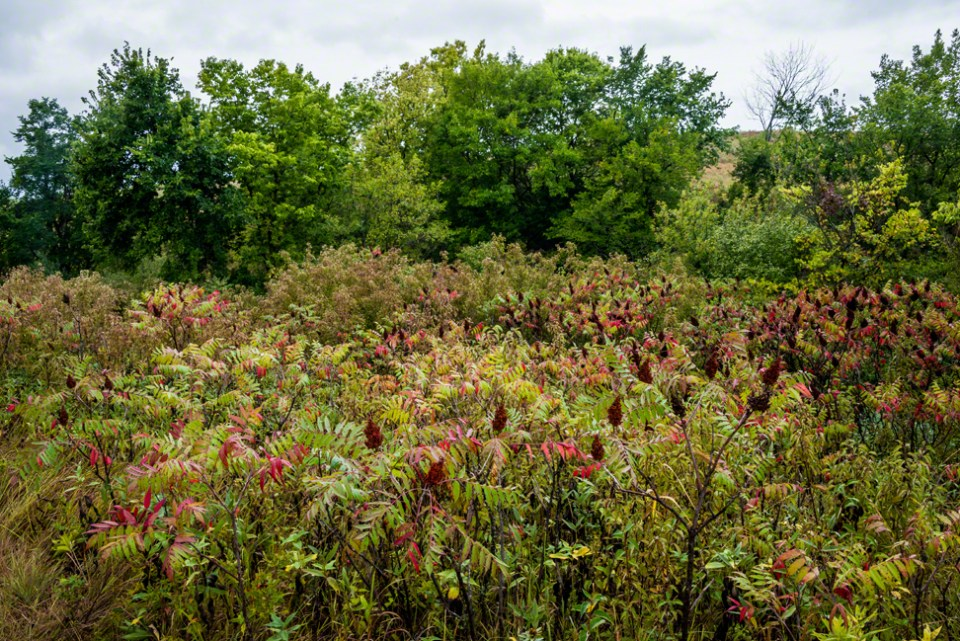 In the Middle of the Big Sumac Patch - West Draw