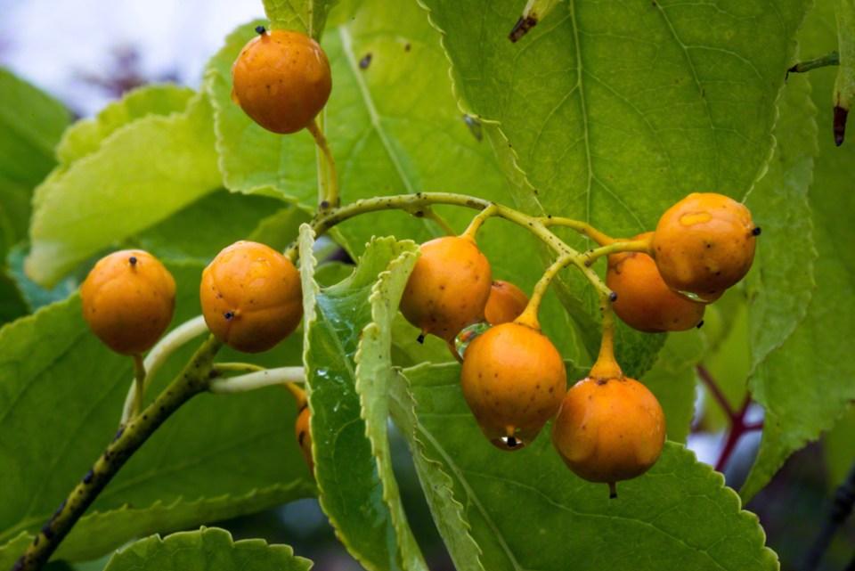 Mystery Orange Fruits  CU