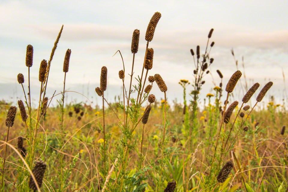 Prairie Clover Seed Heads