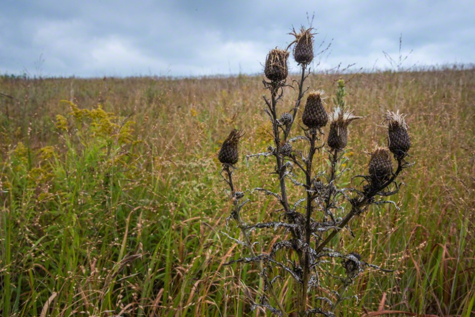 Seven Thistle Heads