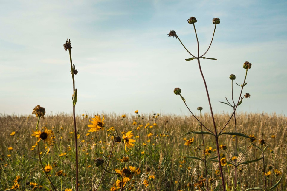 Sunflower Seed Heads Against an August Sky