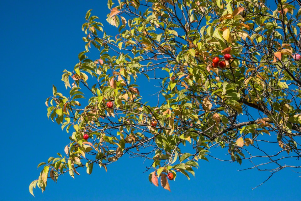 The Crabapple Boughs Against a Clear Blue Sky