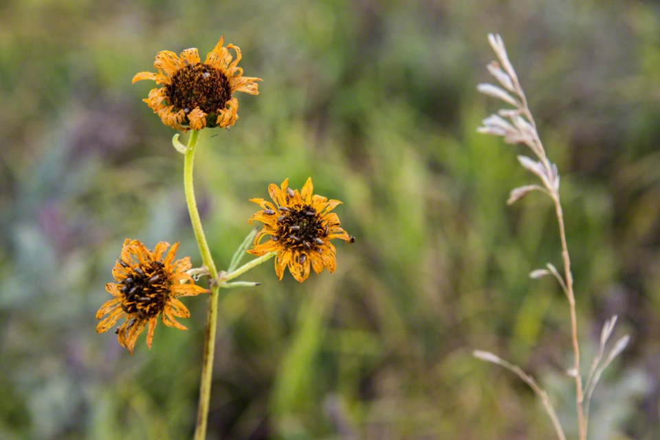 Wilted Sunflowers with Bugs