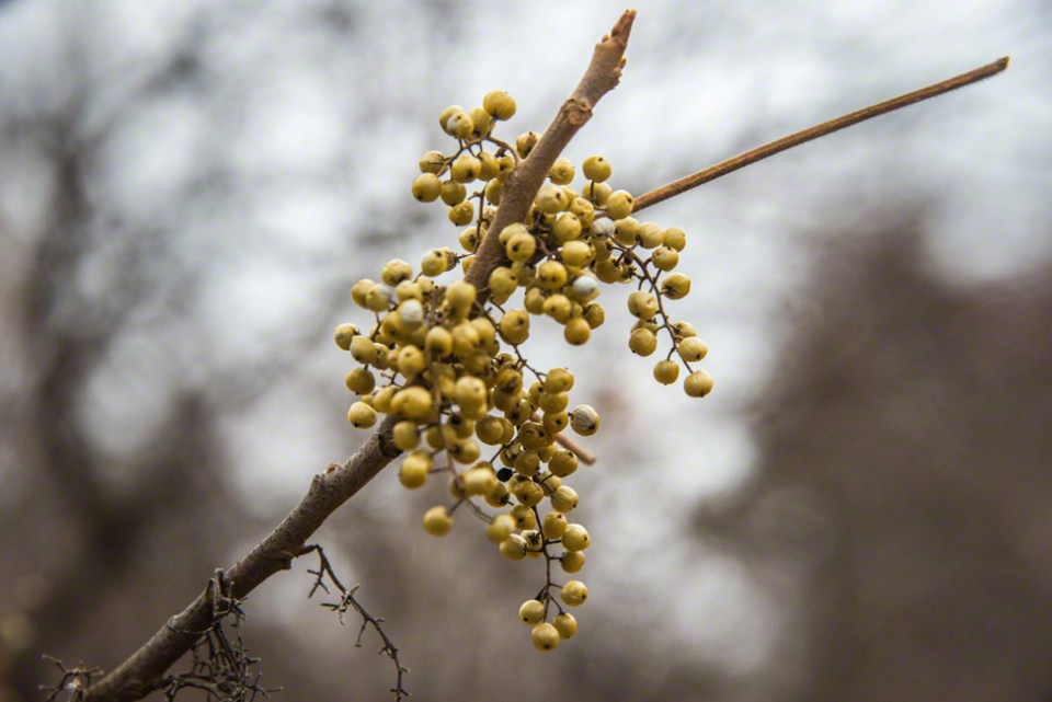 A Cluster of Yellowish Berries