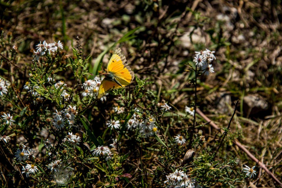 A Ragged Sulphur Wing Butterfly