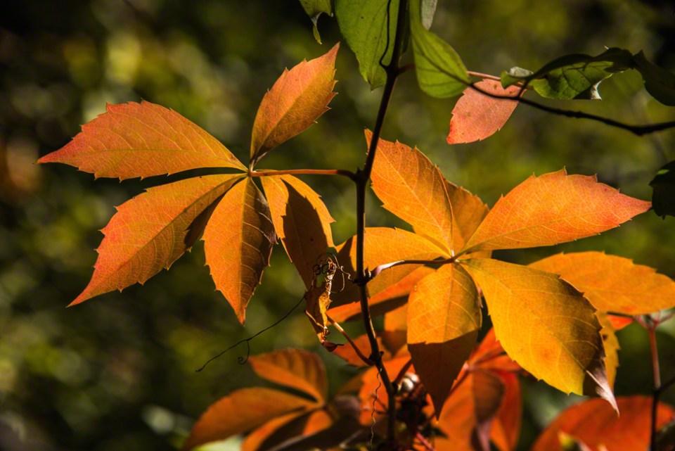 Backlit Virginia Creeper Leaves Gone Rust