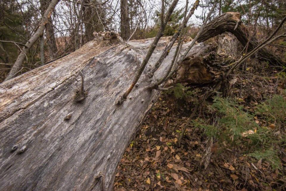 Big Down Tree